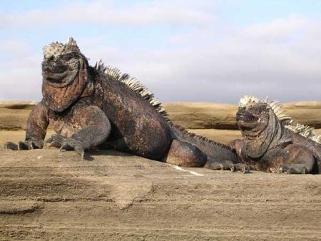 孤立した環境で独自の生態系を維持したガラパゴス島の生物。シャープはZaurus(恐竜)に続きこの島の名を製品名にした。(photo by  Marc Figueras CC-BY-SA, from Wikimedia Commons)